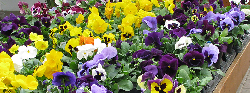 Pansy Plants Countryside Flower Shop Nursery Amp Garden