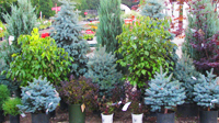 Nursery Coountryside Flower Shop trees shrubs evergreens