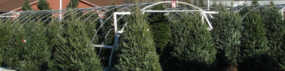 Fresh Christmas Trees