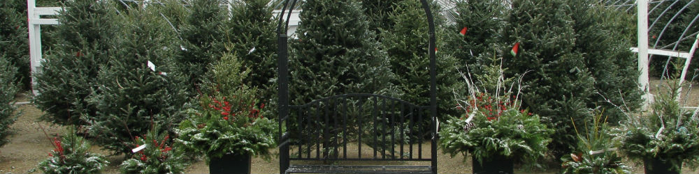 Christmas trees from our nursery