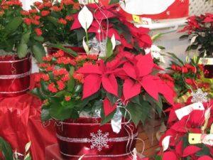 Poinsettia in decorative tin